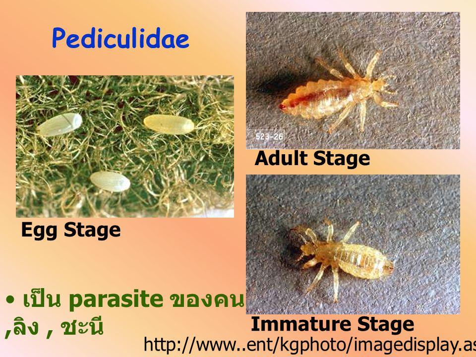 Pediculidae เป็น parasite ของคน ,ลิง , ชะนี Adult Stage Egg Stage