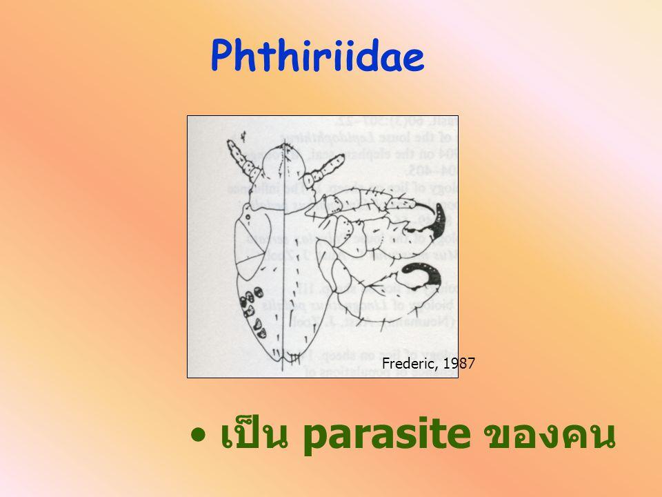 Phthiriidae Frederic, 1987 เป็น parasite ของคน