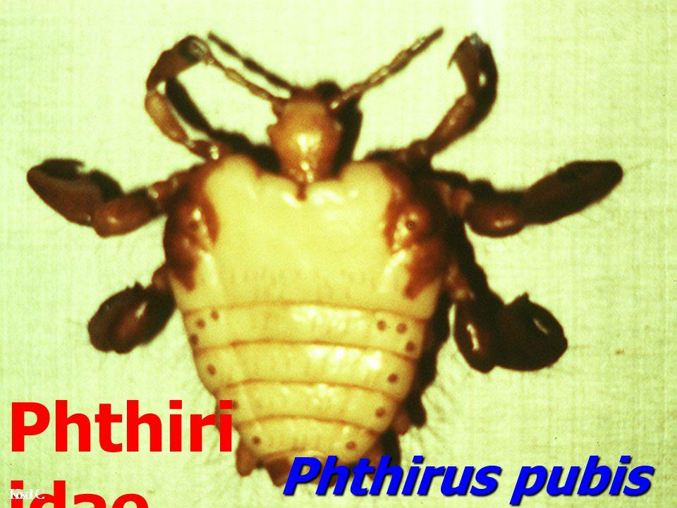 Phthiriidae Phthirus pubis
