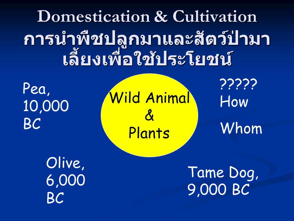 Domestication & Cultivation การนำพืชปลูกมาและสัตว์ป่ามาเลี้ยงเพื่อใช้ประโยชน์