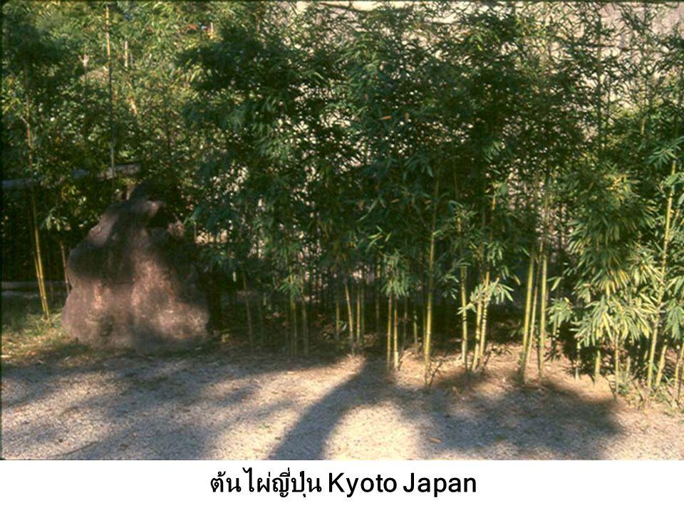 ต้นไผ่ญี่ปุ่น Kyoto Japan