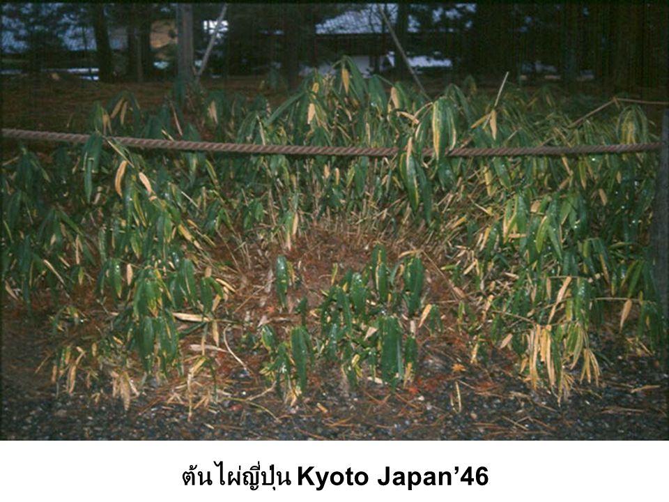ต้นไผ่ญี่ปุ่น Kyoto Japan'46