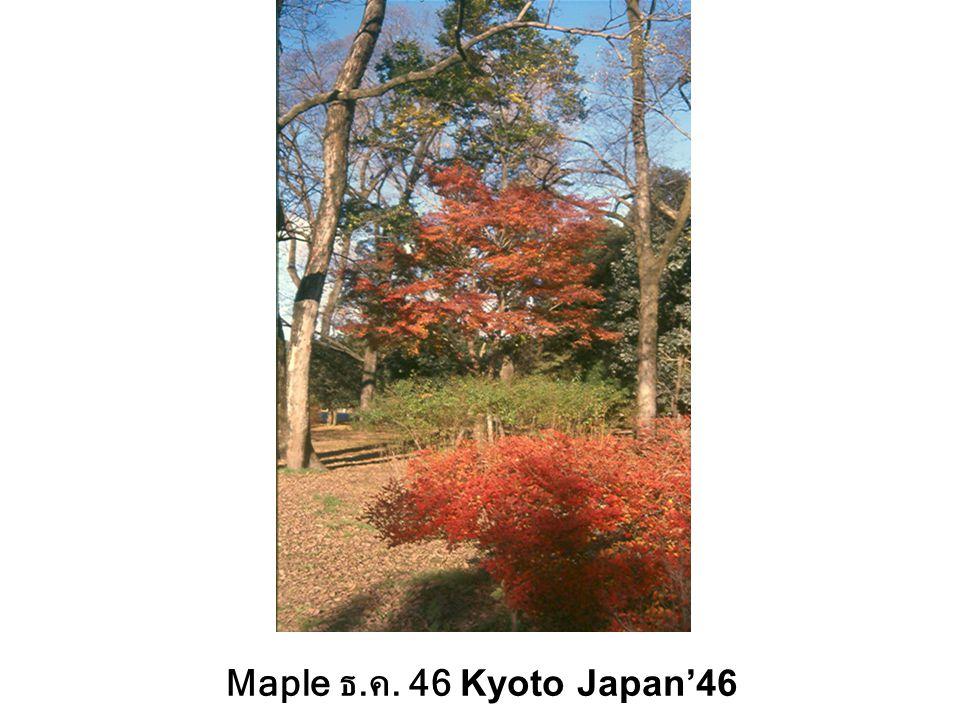 Maple ธ.ค. 46 Kyoto Japan'46