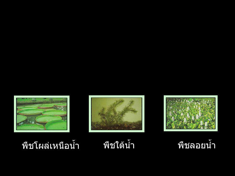 พืชโผล่เหนือน้ำ พืชใต้น้ำ พืชลอยน้ำ
