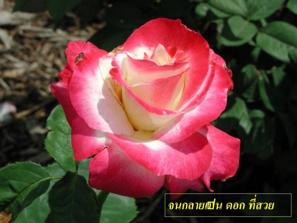 จนกลายเป็น ดอก ที่สวย