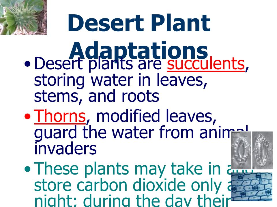 Desert Plant Adaptations