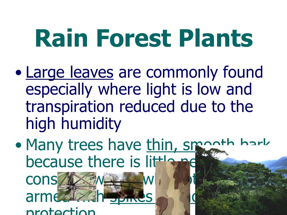 Rain Forest Plants Large leaves are commonly found especially where light is low and transpiration reduced due to the high humidity.
