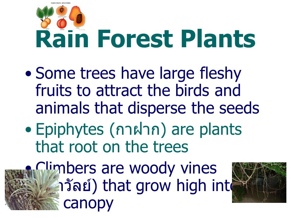 Rain Forest Plants Some trees have large fleshy fruits to attract the birds and animals that disperse the seeds.