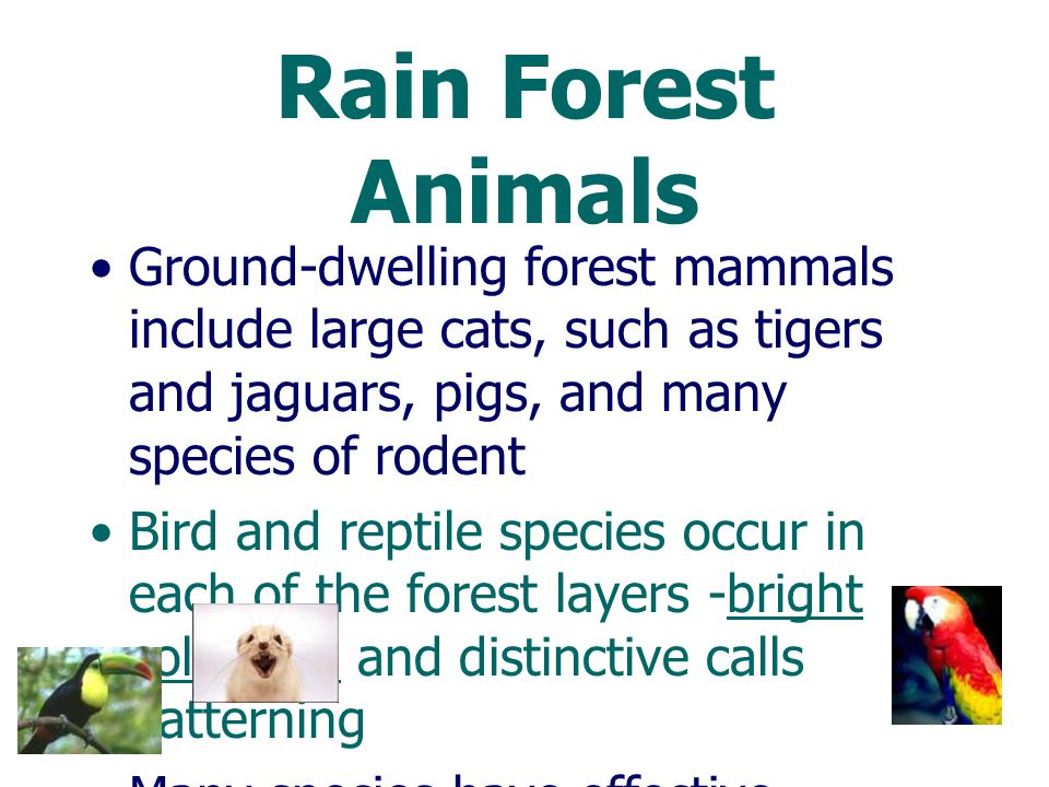 Rain Forest Animals Ground-dwelling forest mammals include large cats, such as tigers and jaguars, pigs, and many species of rodent.