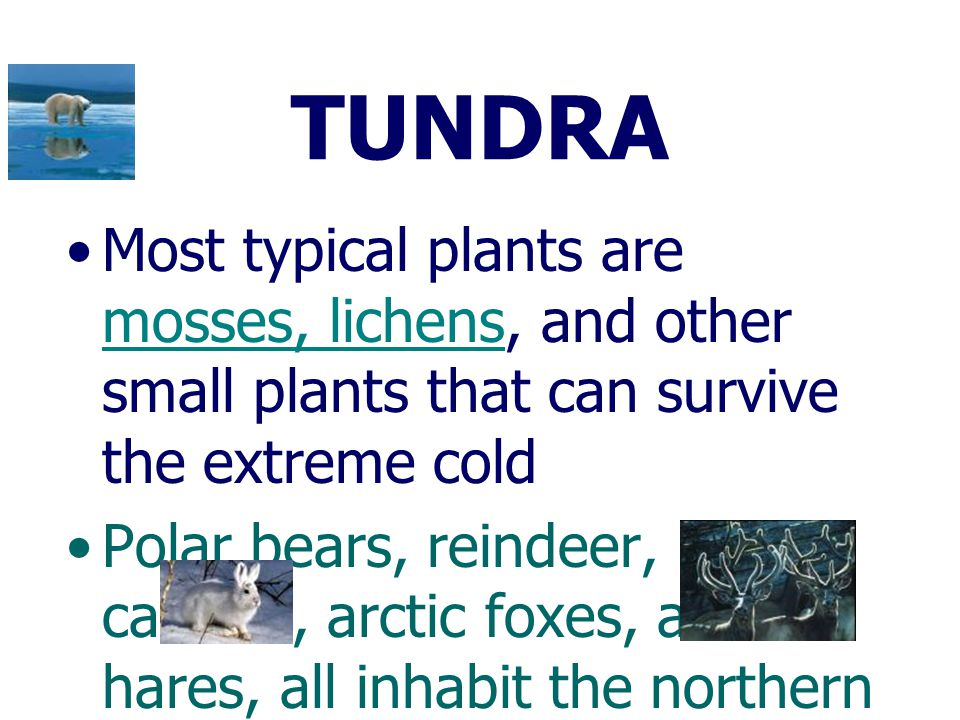TUNDRA Most typical plants are mosses, lichens, and other small plants that can survive the extreme cold.