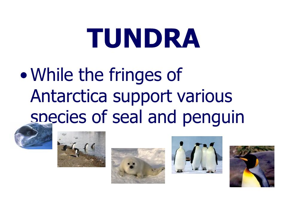 TUNDRA While the fringes of Antarctica support various species of seal and penguin