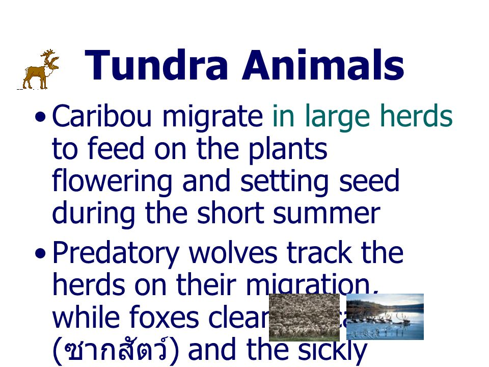 Tundra Animals Caribou migrate in large herds to feed on the plants flowering and setting seed during the short summer.