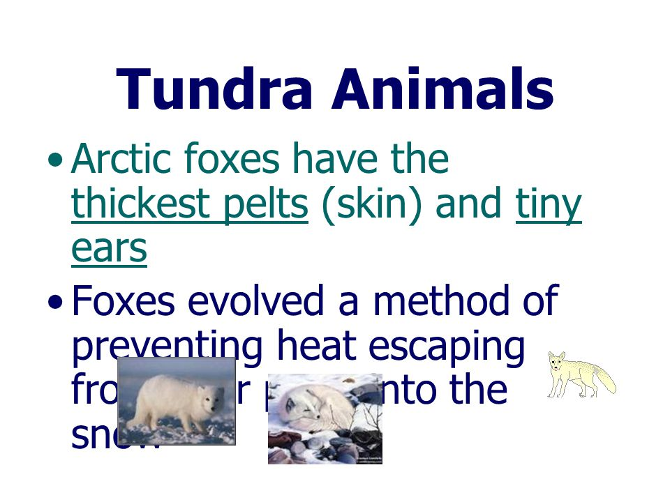 Tundra Animals Arctic foxes have the thickest pelts (skin) and tiny ears.