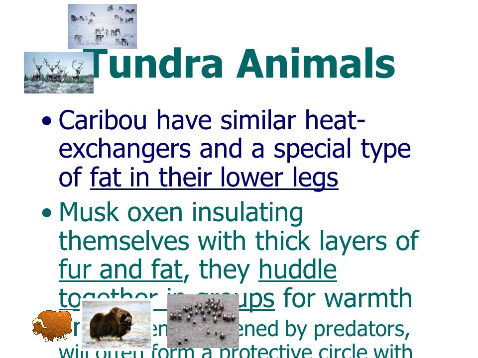 Tundra Animals Caribou have similar heat-exchangers and a special type of fat in their lower legs.
