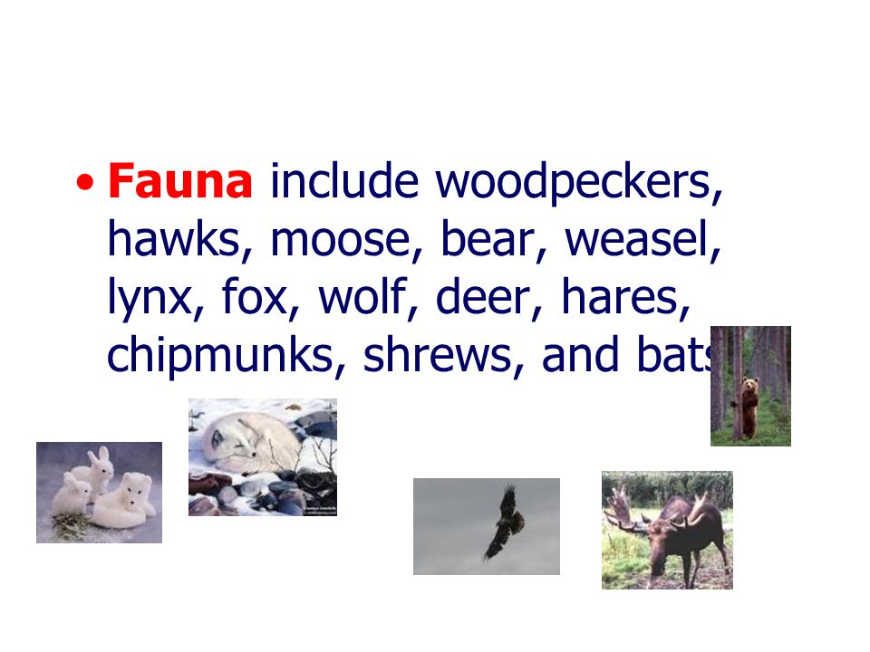 Fauna include woodpeckers, hawks, moose, bear, weasel, lynx, fox, wolf, deer, hares, chipmunks, shrews, and bats.