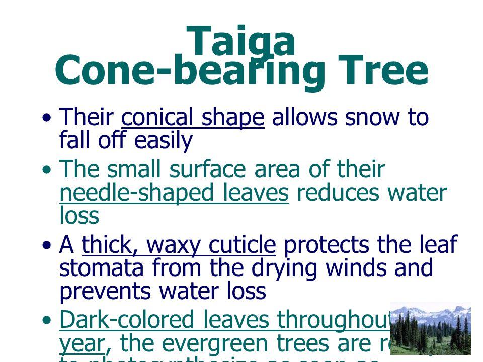 Taiga Cone-bearing Tree