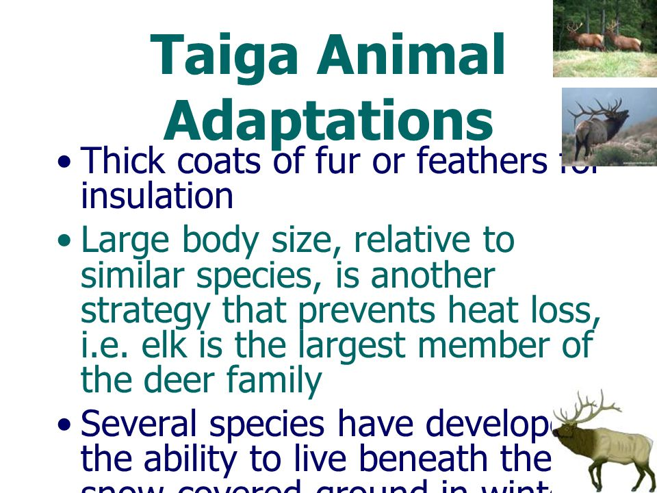 Taiga Animal Adaptations