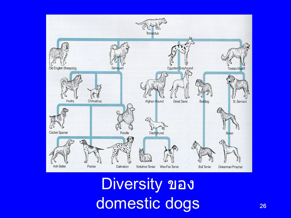 Diversity ของ domestic dogs