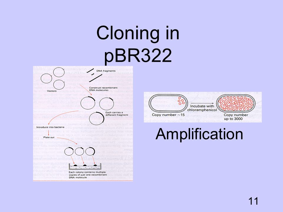 Cloning in pBR322 Amplification