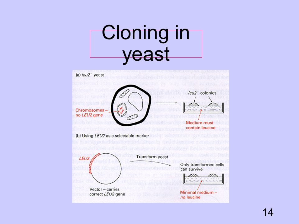 Cloning in yeast