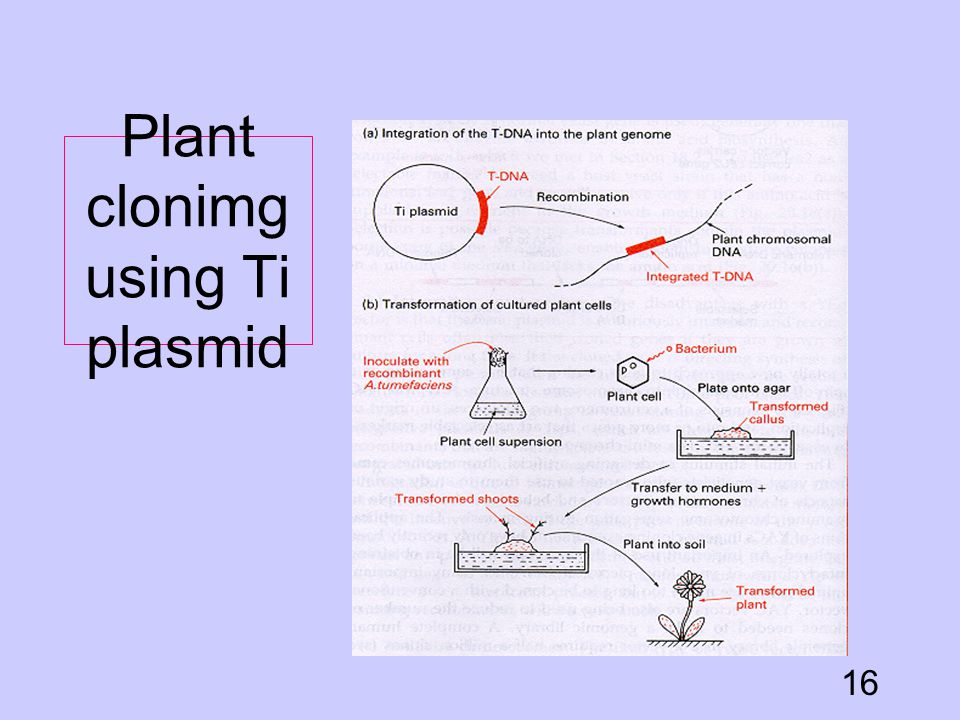 Plant clonimg using Ti plasmid