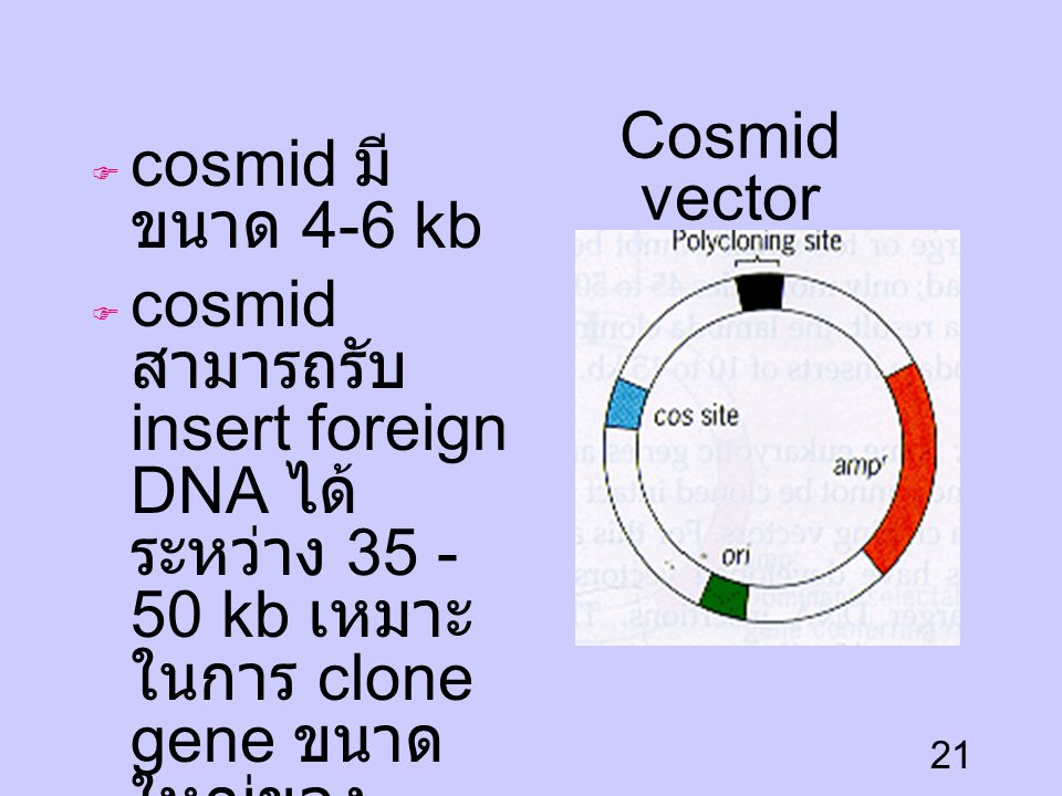 cosmid มีขนาด 4-6 kb cosmid สามารถรับ insert foreign DNA ได้ระหว่าง 35 - 50 kb เหมาะในการ clone gene ขนาดใหญ่ของ eulararyote.