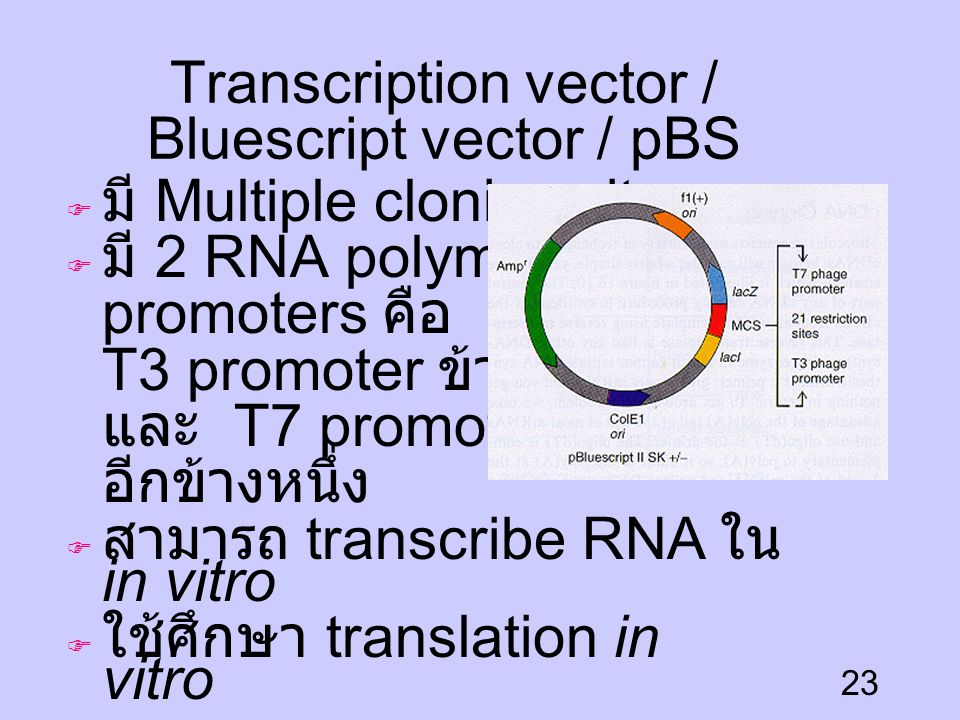Transcription vector / Bluescript vector / pBS