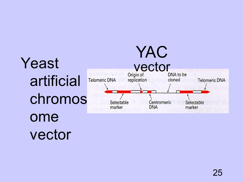YAC vector Yeast artificial chromosome vector