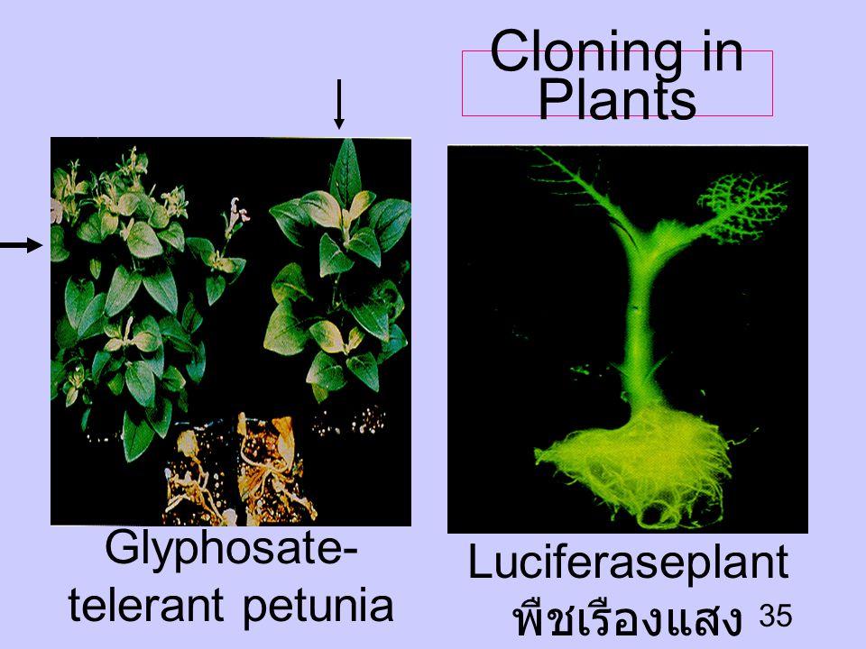 Cloning in Plants Glyphosate-telerant petunia