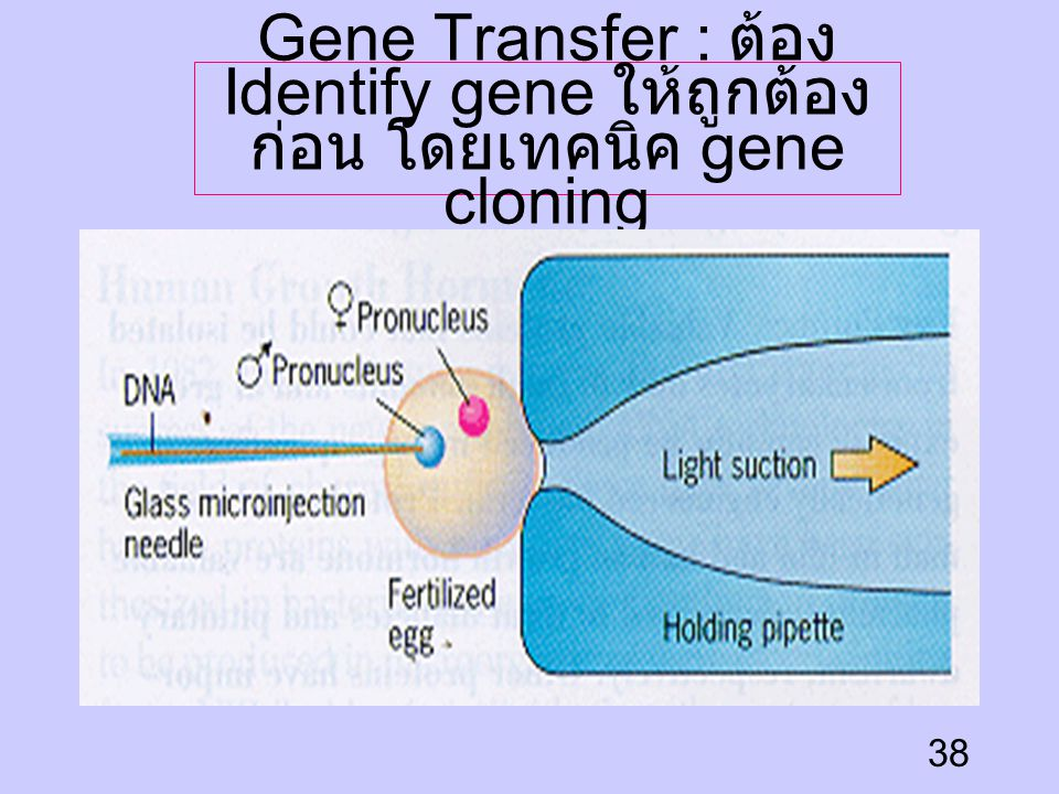 Gene Transfer : ต้อง Identify gene ให้ถูกต้องก่อน โดยเทคนิค gene cloning