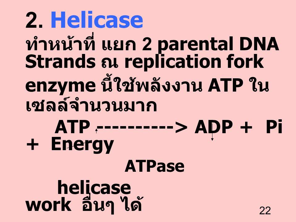 2. Helicase ทำหน้าที่ แยก 2 parental DNA Strands ณ replication fork