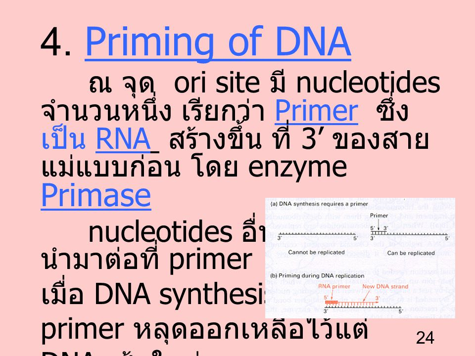 4. Priming of DNA ณ จุด ori site มี nucleotides จำนวนหนึ่ง เรียกว่า Primer ซึ่งเป็น RNA สร้างขึ้น ที่ 3' ของสายแม่แบบก่อน โดย enzyme Primase.