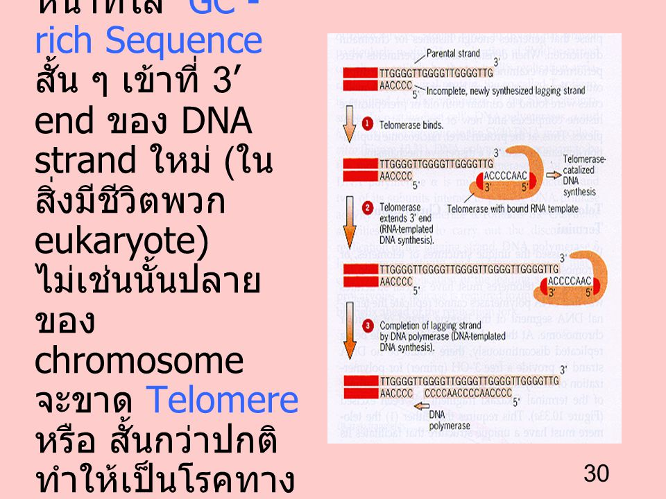 Telomerase ทำหน้าที่ใส่ GC - rich Sequence สั้น ๆ เข้าที่ 3' end ของ DNA strand ใหม่ (ในสิ่งมีชีวิตพวก eukaryote) ไม่เช่นนั้นปลายของ chromosome จะขาด Telomere หรือ สั้นกว่าปกติ ทำให้เป็นโรคทางพันธุกรรม