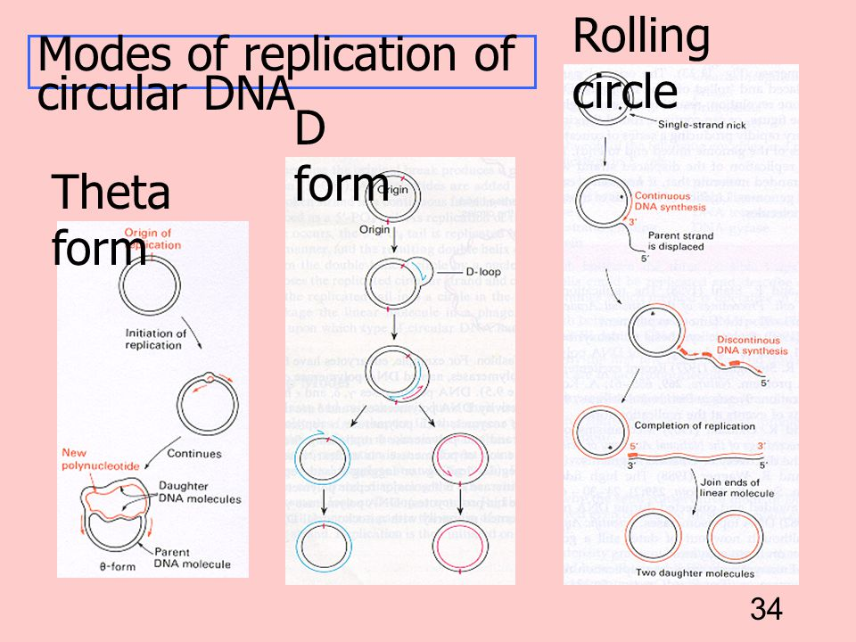 Rolling circle Modes of replication of circular DNA D form Theta form