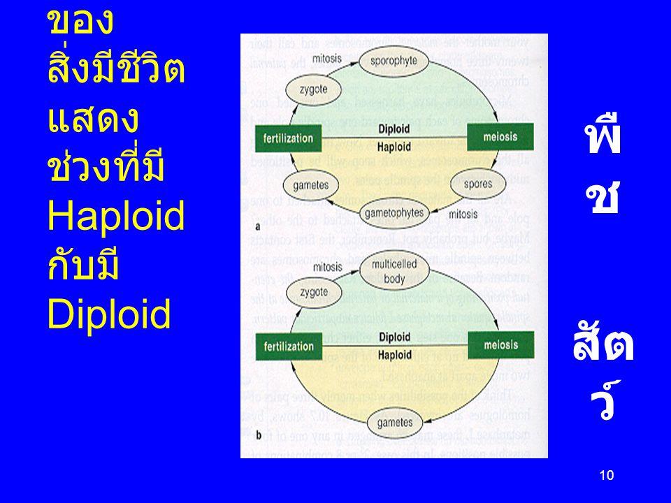Life cycles ของสิ่งมีชีวิตแสดง ช่วงที่มี Haploid กับมี Diploid