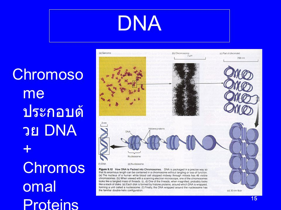 From Chromosome to DNA Chromosome ประกอบด้วย DNA + Chromosomal Proteins
