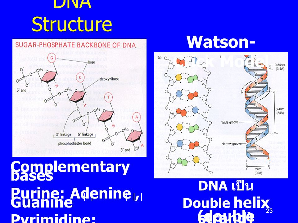 DNA Structure Watson-Crick Model Complementary bases