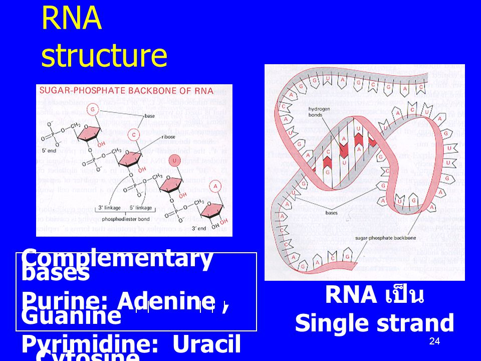 RNA structure Complementary bases Purine: Adenine , Guanine