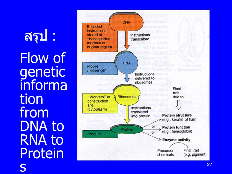 สรุป : Flow of genetic information from DNA to RNA to Proteins