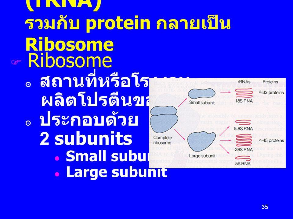 Ribosomal RNA (rRNA) รวมกับ protein กลายเป็น Ribosome