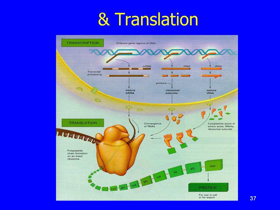 สรุป : เหตุการณ์ Transcription & Translation
