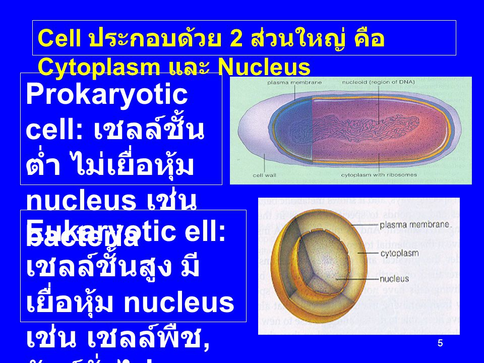 Prokaryotic cell: เชลล์ชั้นต่ำ ไม่เยื่อหุ้ม nucleus เช่น bacteria