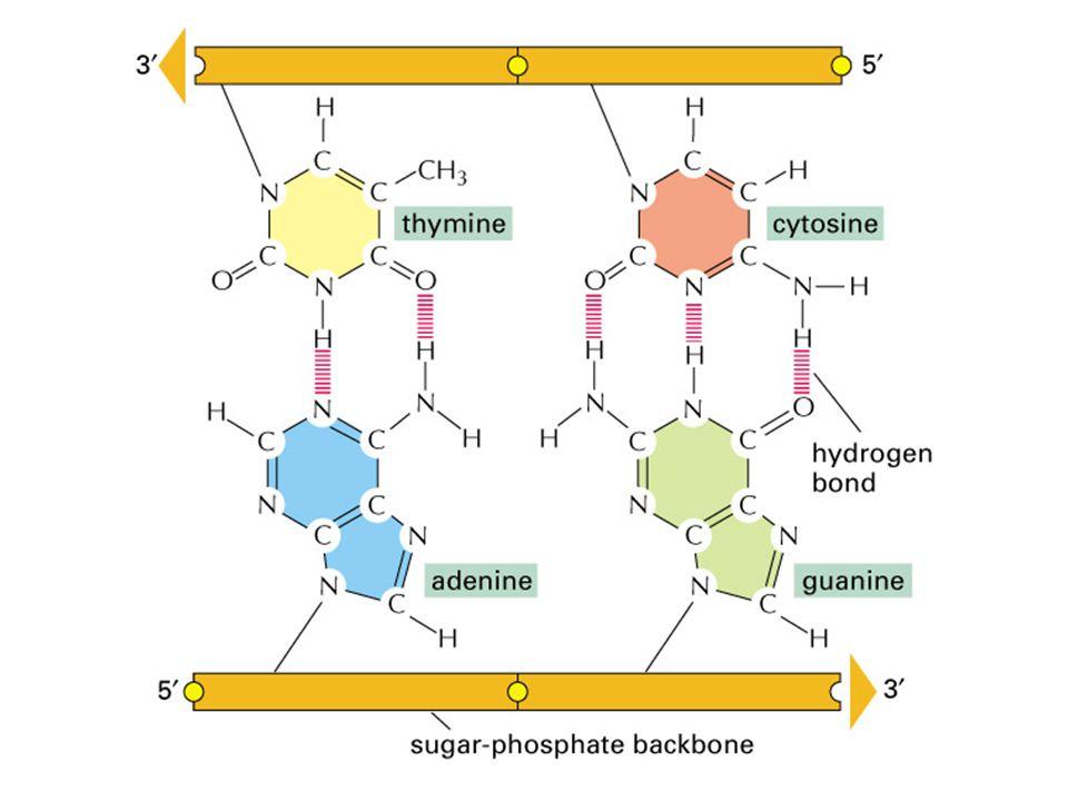 Deoxyribonucleic acid เป็น โมเลกุลของสารที่มีลักษณะเป็นสายยาว 2 สายพันกันเป็นเกลียวคู่ประกอบด้วยธาตุ 5 ชนิดคือ C (carbon) H (hydrogen) O (oxygen) N (nitrogen) และ P (phosphorous) สายยาวของ DNA นี้ประกอบด้วยหน่วยย่อย (monomer) เพียง 4 ประเภทเรียงร้อยต่อกันอยู่เป็นเส้นตรง