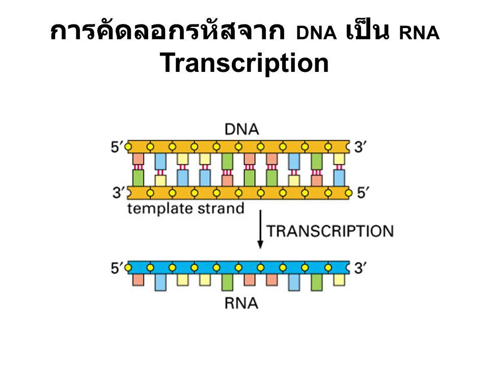 การคัดลอกรหัสจาก DNA เป็น RNA Transcription
