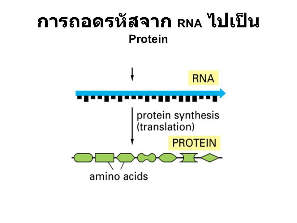 การถอดรหัสจาก RNA ไปเป็น Protein
