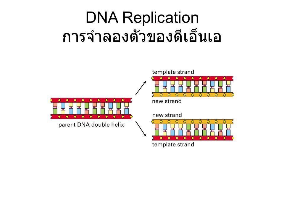 DNA Replication การจำลองตัวของดีเอ็นเอ