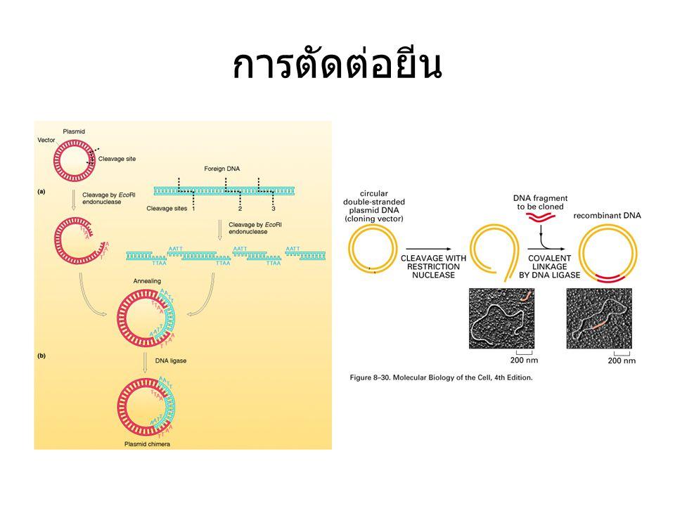 การตัดต่อยีน