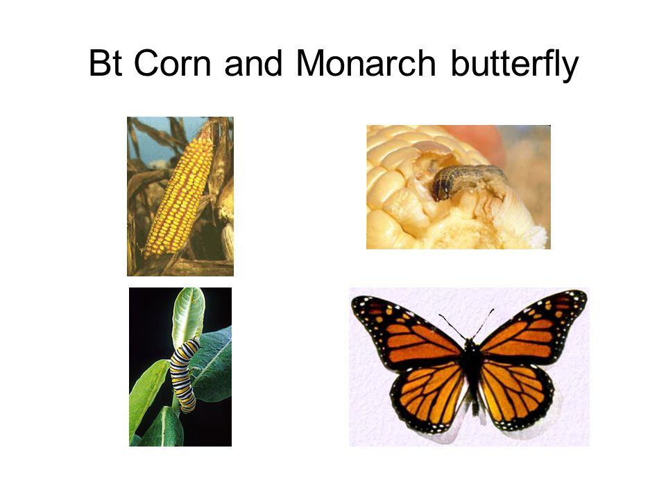 Bt Corn and Monarch butterfly