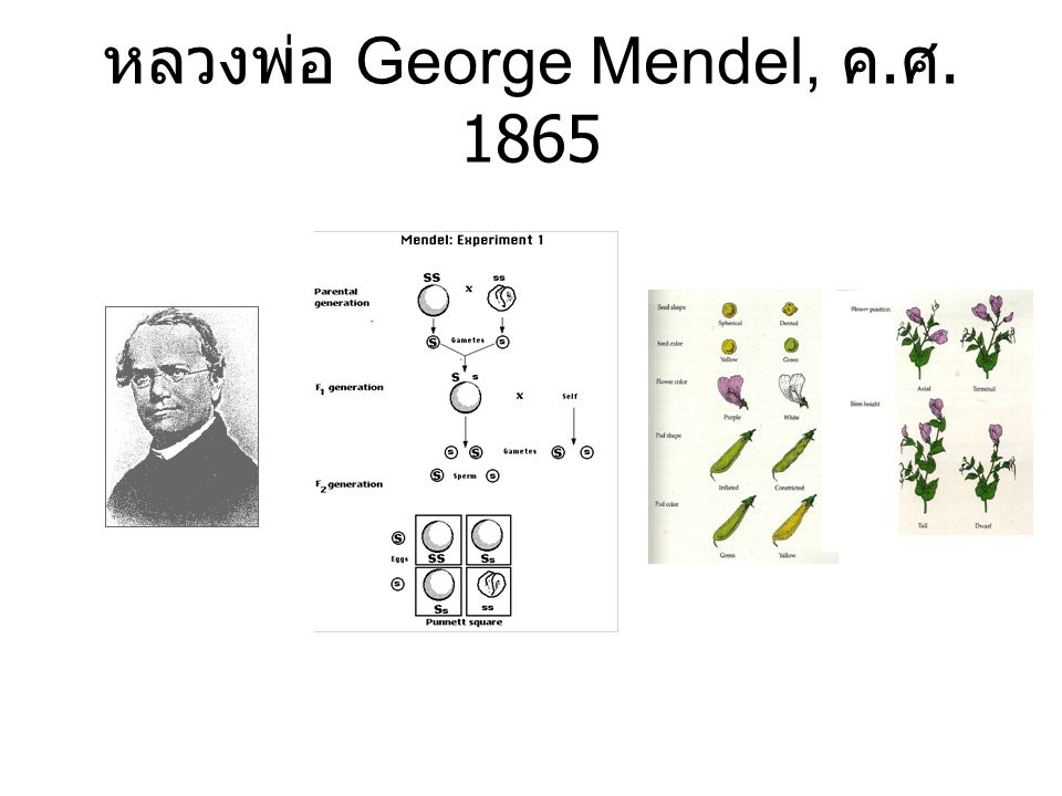 หลวงพ่อ George Mendel, ค.ศ. 1865