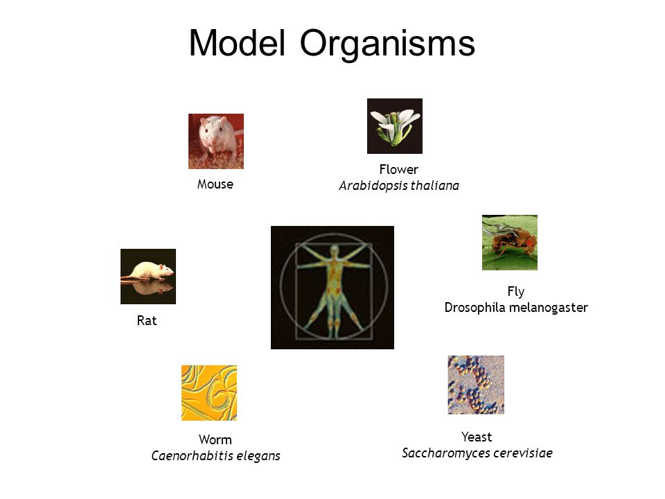 Model Organisms Flower Arabidopsis thaliana Mouse Fly